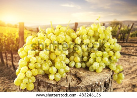 fresh grapes from the sunny Tuscan vineyard
