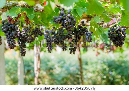 Fresh grapes on the vine - stock photo