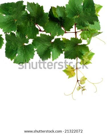 Fresh grapevine, isolated - stock photo