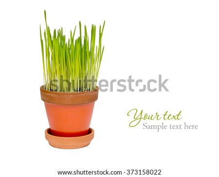 fresh grass in flowerpot isolated on white with place for text - stock photo