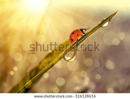Fresh grass with dew drops and ladybug at sunrise. Nature Background - stock photo