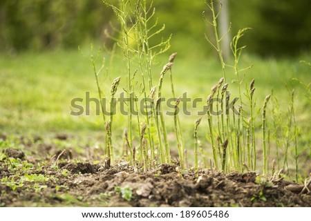 Fresh green asparagus growing on the garden - stock photo