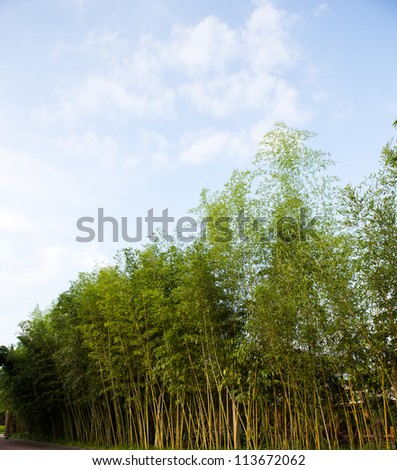 fresh green bamboo  on a clear blue sky background. - stock photo