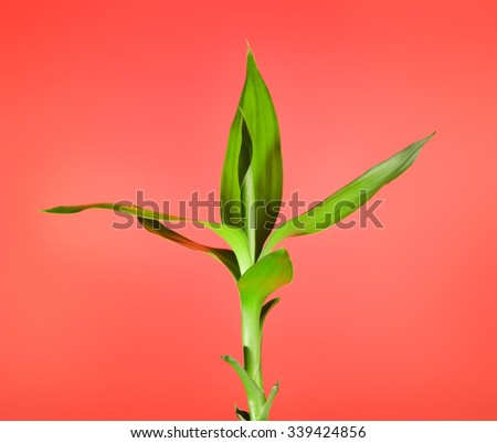 fresh green bamboo sprout, on red background - stock photo