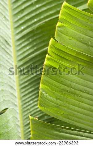 fresh green banana leaf, can be used for background - stock photo