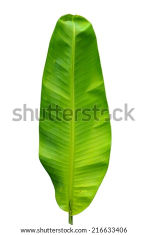 Fresh Green Banana Leaf Isolated with clipping path - stock photo