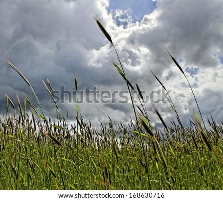 Fresh green barley is growing. - stock photo