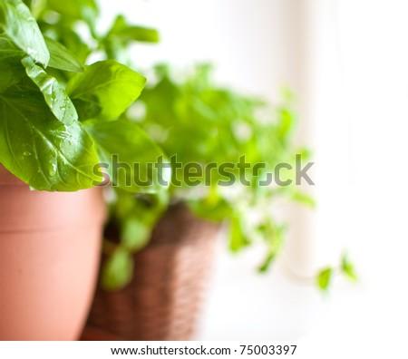 Fresh Green Basil Herb in Pot on Light Background - stock photo