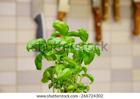 Fresh green basil plant in kitchen - stock photo