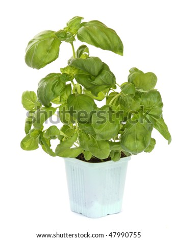 Fresh green basil plant isolated over white - stock photo