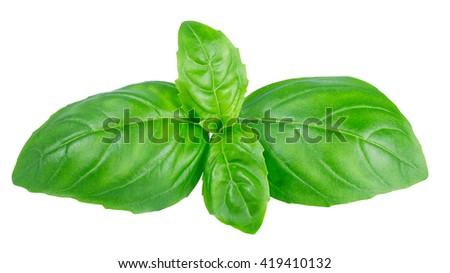 fresh green basil top leaves isolated on white background closeup. Italian seasoning aromatic herb basil - stock photo