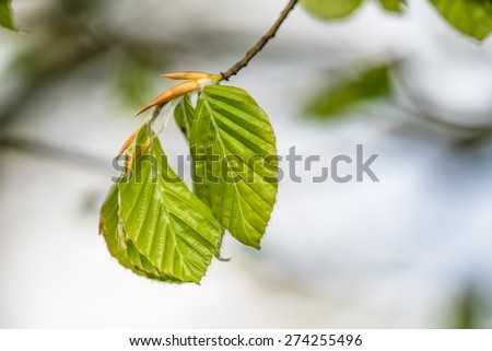 Fresh green beech leaves on a twig - stock photo