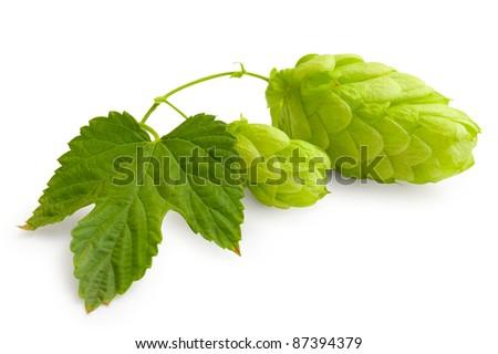 Fresh green bones of Hop - stock photo