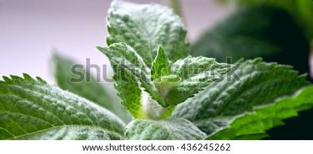 Fresh green bush and a sprig of mint and lemon balm Ukraine - stock photo