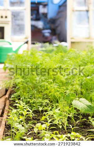 Fresh green dill growing in greenhouse. Close up vegetable background - stock photo