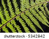 fresh green fern leafs in the forest - stock photo