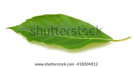 Fresh green fig leaf isolated on white background
