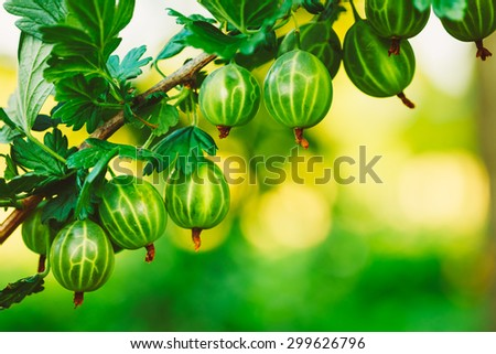 Fresh Green Gooseberries. Growing Organic Berries Closeup On A Branch Of Gooseberry Bush. Ripe Gooseberry In The Fruit Garden. Toned Instant Photo - stock photo