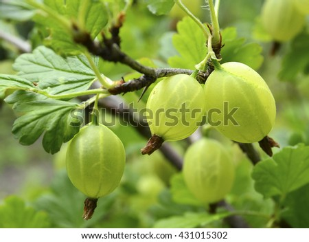 Fresh green gooseberries on a branch of gooseberry bush close up.Gooseberry in the fruit garden.Selective focus. - stock photo