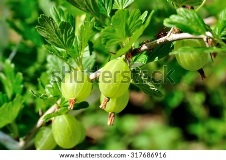 Fresh green gooseberries on tree. - stock photo