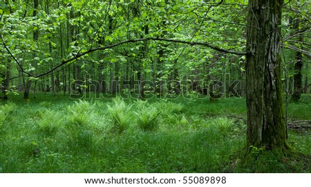 Fresh green grass and ferns in springtime with old hornbeam tree in foreground - stock photo