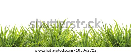 fresh green grass border , isolated