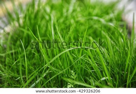 Fresh green grass closeup - stock photo