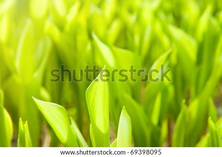 Fresh green grass (leaves of lily of the valley)