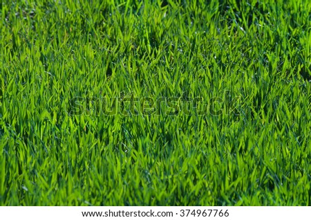 Fresh green grass texture in spring - stock photo