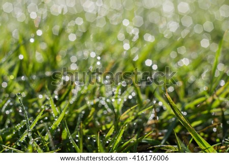 Fresh green grass with dew drops, macro photo with bokeh lights.