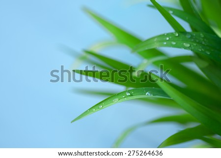 Fresh Green Grass with Drops Few ,Isolated on Blue With Copy Space - stock photo