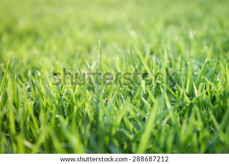 Fresh green grass with water droplet in sunshine