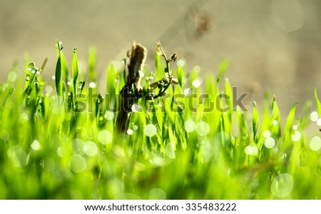 fresh green grass with water drops, blurred boke