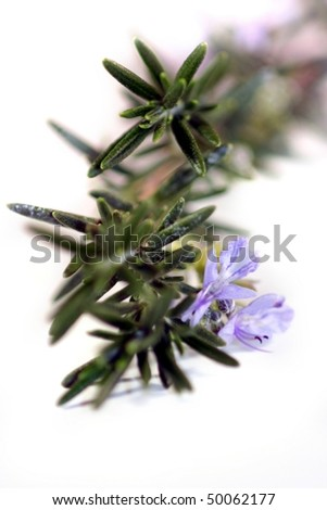 Fresh green herb rosemary on white background. - stock photo