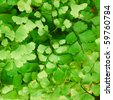 Fresh green Himalayan maidenhair fern leaves (selective focus) - stock photo