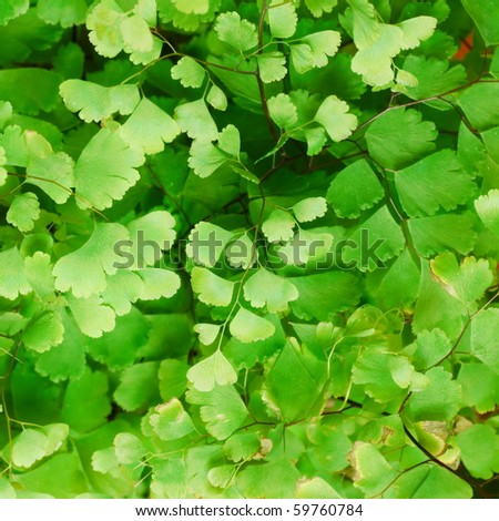 Fresh green Himalayan maidenhair fern leaves (selective focus)