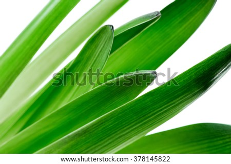 fresh green hyacinth flower leaves macro on white background (shallow focus)  - stock photo