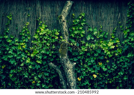 Fresh green ivy climbing an old fence - stock photo