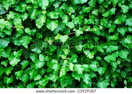 Fresh green ivy leaves background