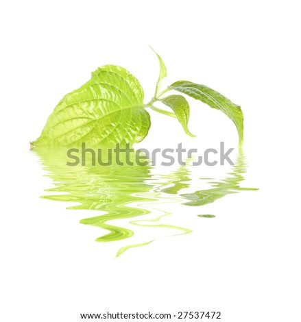 fresh green leaf - stock photo