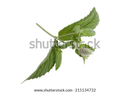 fresh green leaf and flower of mint isolated on white background - stock photo