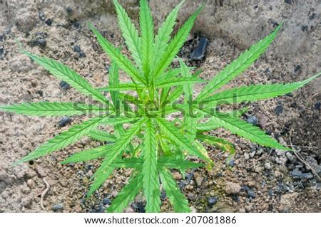fresh green leaf cannabis indica plant (marijuana) - stock photo