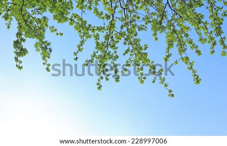 fresh green leaves and blue sky - stock photo