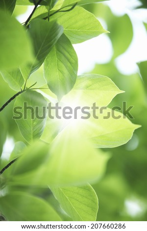 Fresh Green Leaves And Sunshine Filtering Through Foliage - stock photo