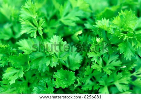 Fresh green leaves of a parsley, background - stock photo