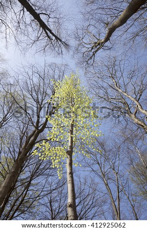 fresh green leaves of birch in spring between dark beech trees in forest against blue sky - stock photo