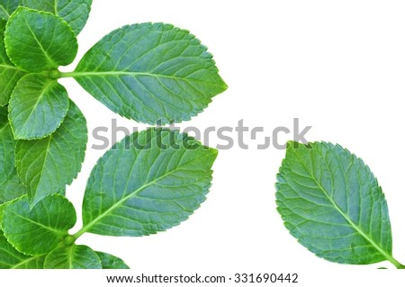 Fresh green leaves on white background
