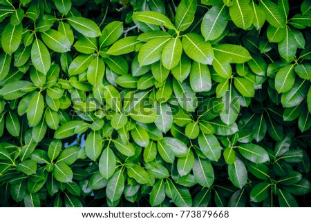 Fresh Green Leaves Texture And Background Of Banyan Tree From Top View Natural Wallpaper