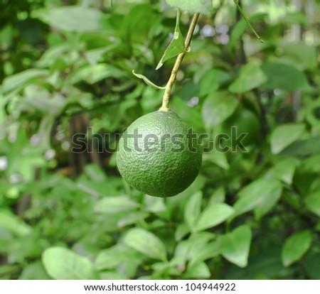 Fresh green lemon on tree - stock photo