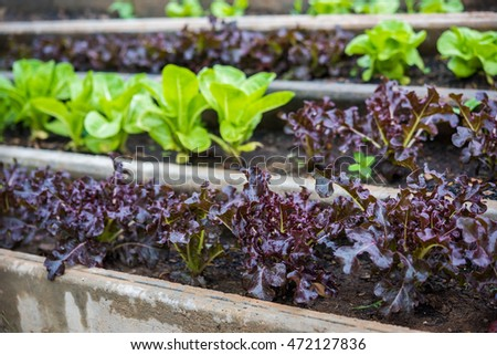 Fresh green lettuce and  red lettuce on the field